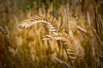 Tares and Wheat - 101 Blog